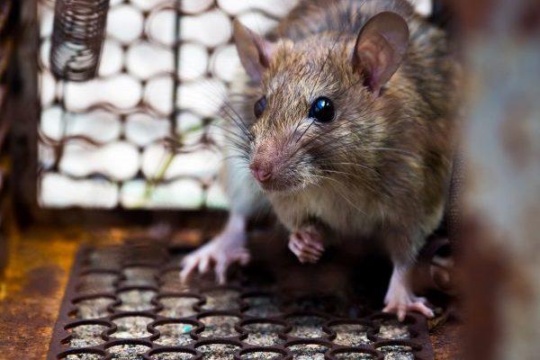 Suspected case of bubonic plague in Rio de Janeiro causes alert; understand the disease