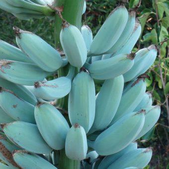 The blue banana which has ice cream texture and tastes like vanilla