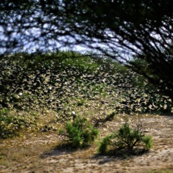 Grasshopper swarm may cross into Brazil from Argentina