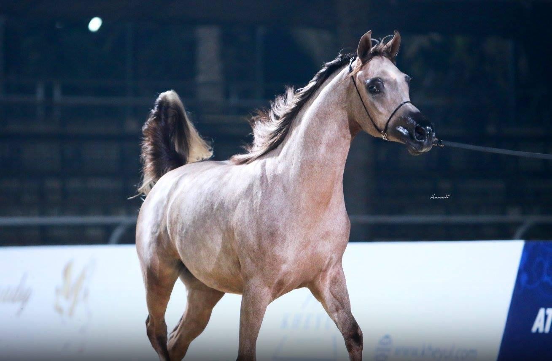 AHO Breeders' Championship Egypt 2017