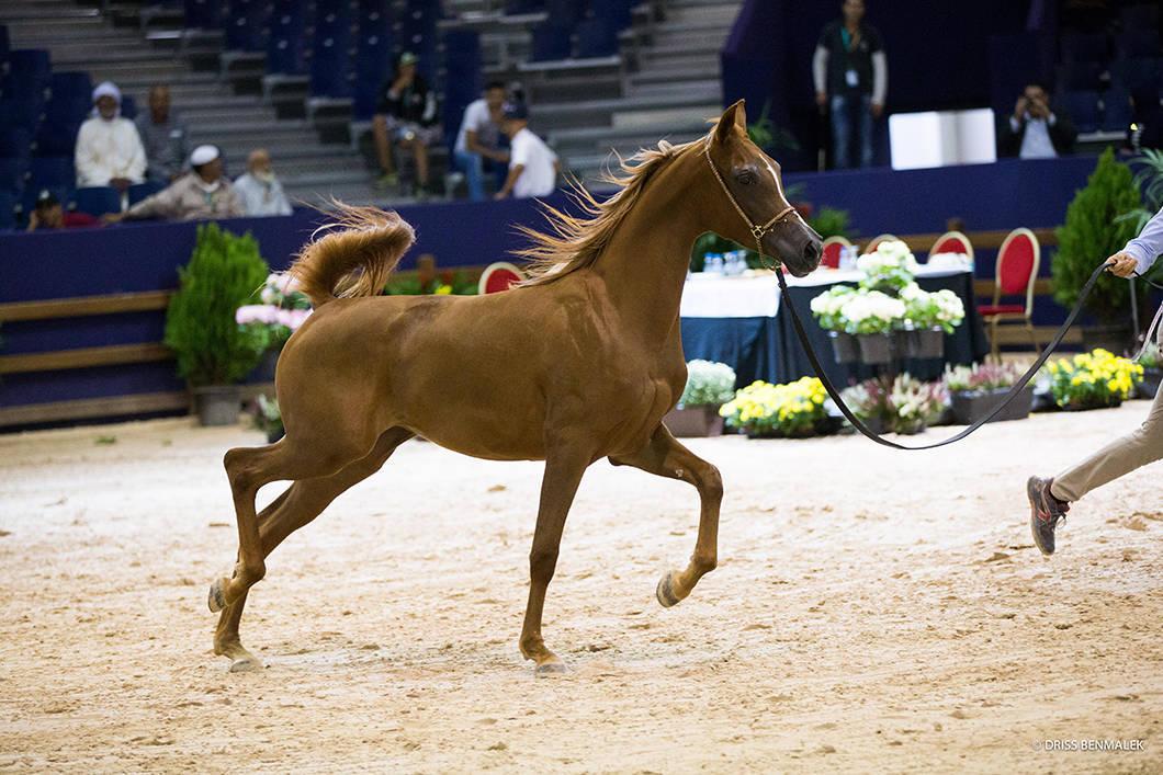 AHO Breeders' Championship Morocco 2015