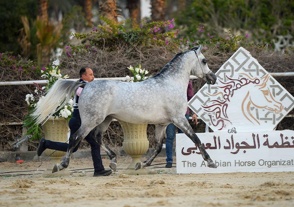 AHO Breeders' Championship Egypt 2018