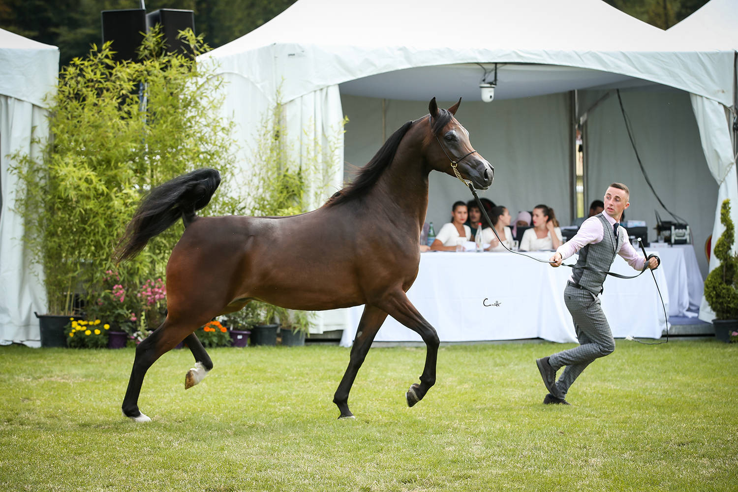 Alandro, 2nd Place Geldings sponsored by AlBidayer Stud