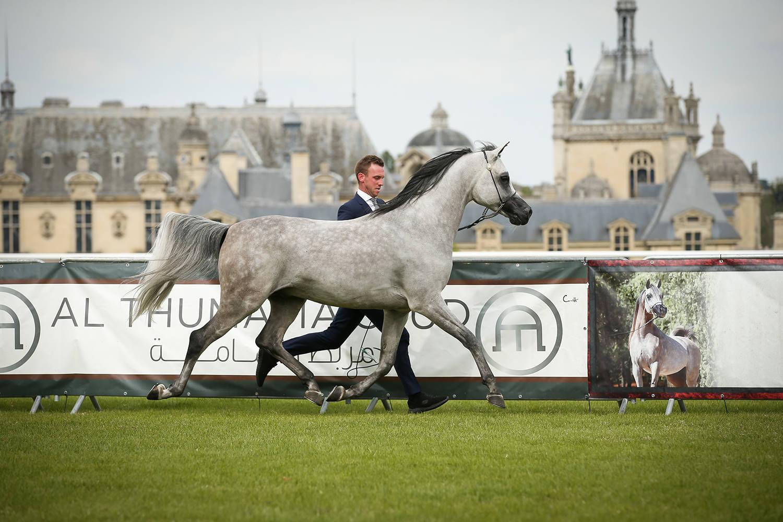 Fazit-B Silver Champion Stallion