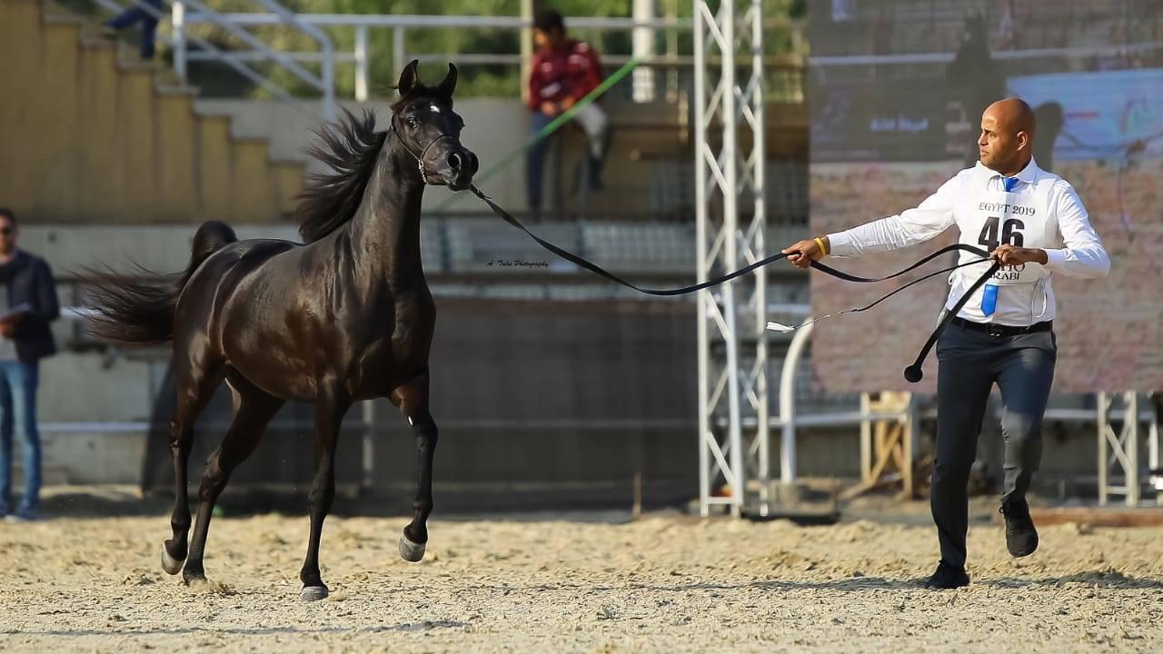 Horses - AHO Breeders' Championship Egypt 2019