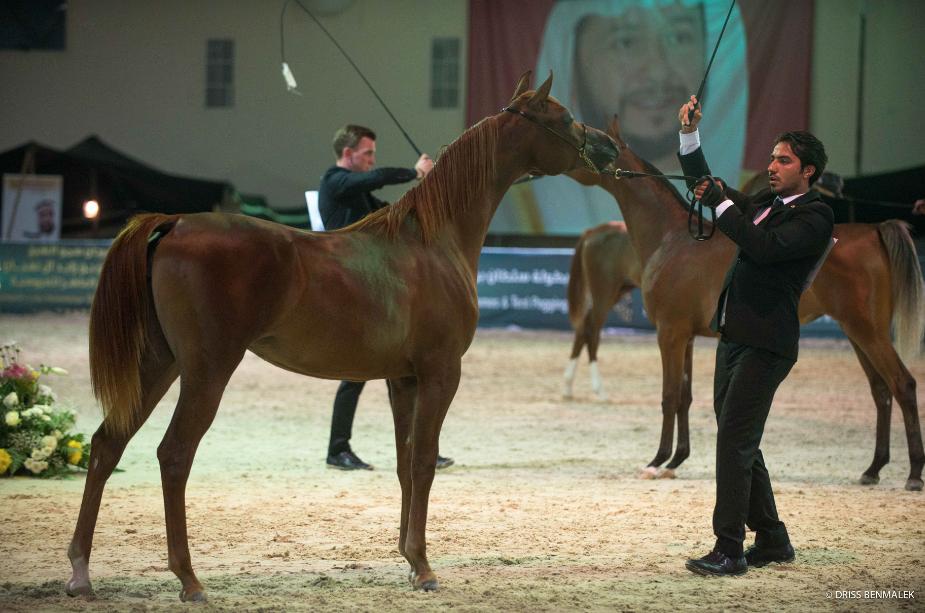 AHO Breeders' Championship Arab Countries, Boutheib, UAE 2016