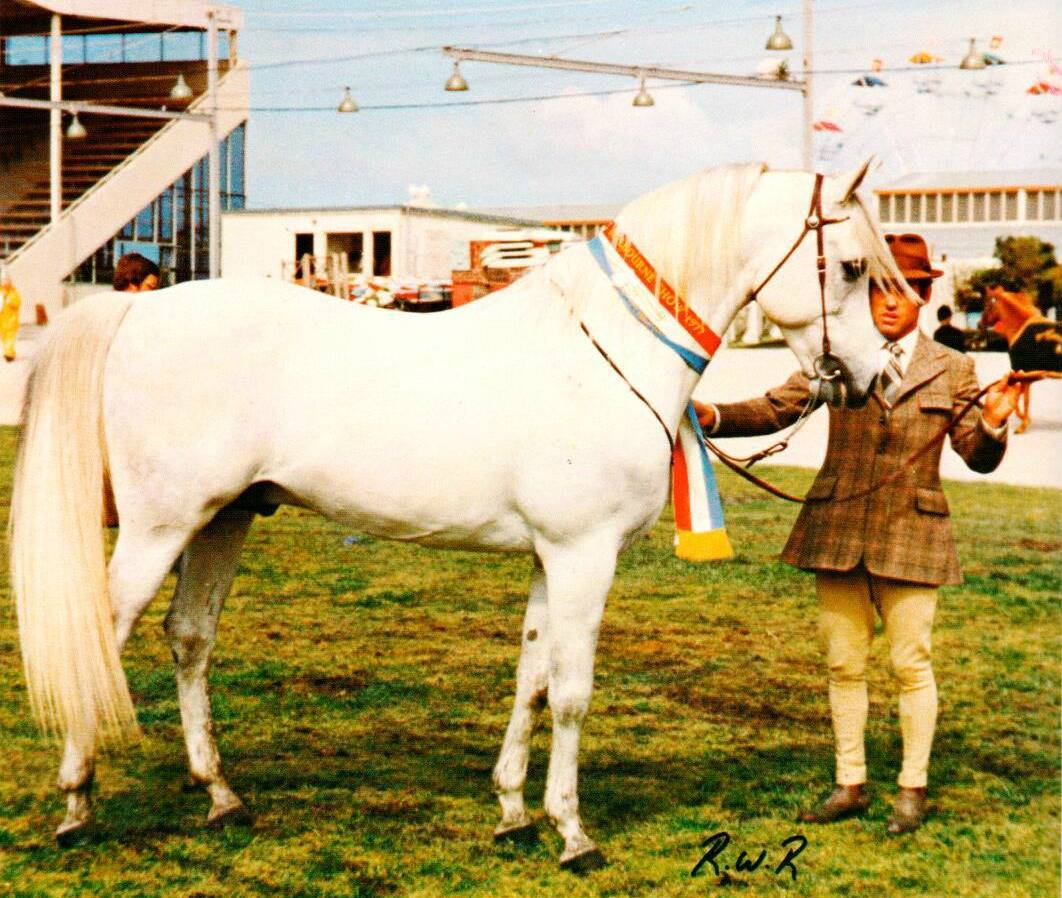 A Brief History of the Arabian Horse in Australia :: Arabian Horse