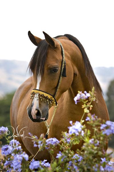 Quail Ridge Arabians