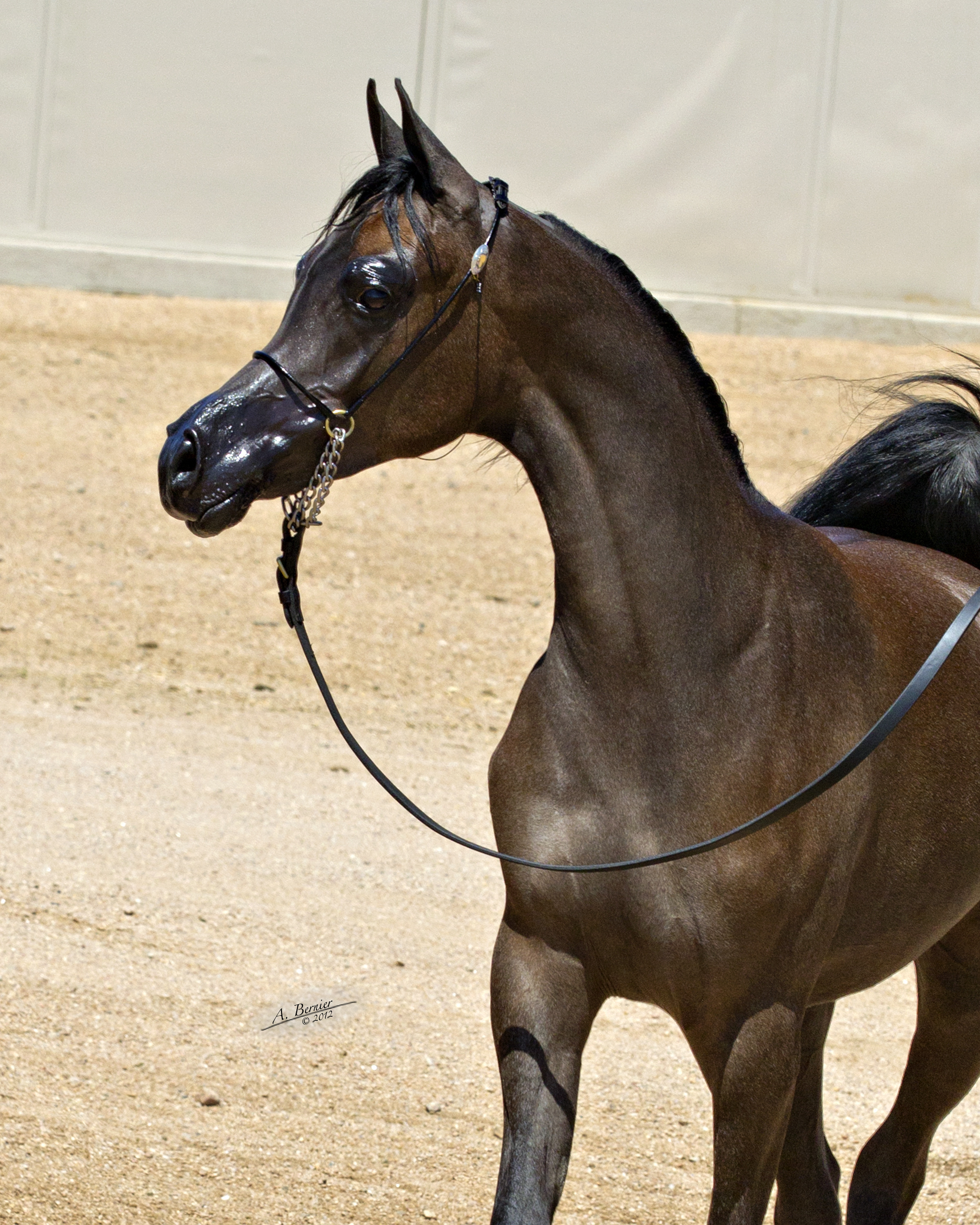 Victoria Cross Farm Arabian Horses Stallions Farms Arabians Horses For Sale Arabian Horse Network