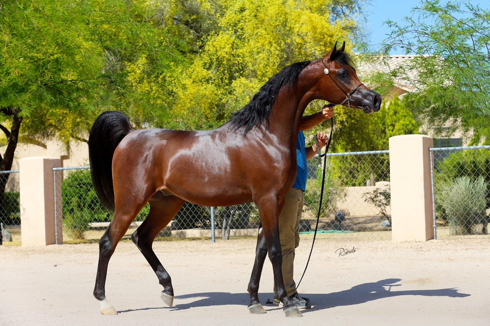Gemini Ranch Arabian Horses Stallions Farms Arabians Horses For Sale Arabian Horse Network