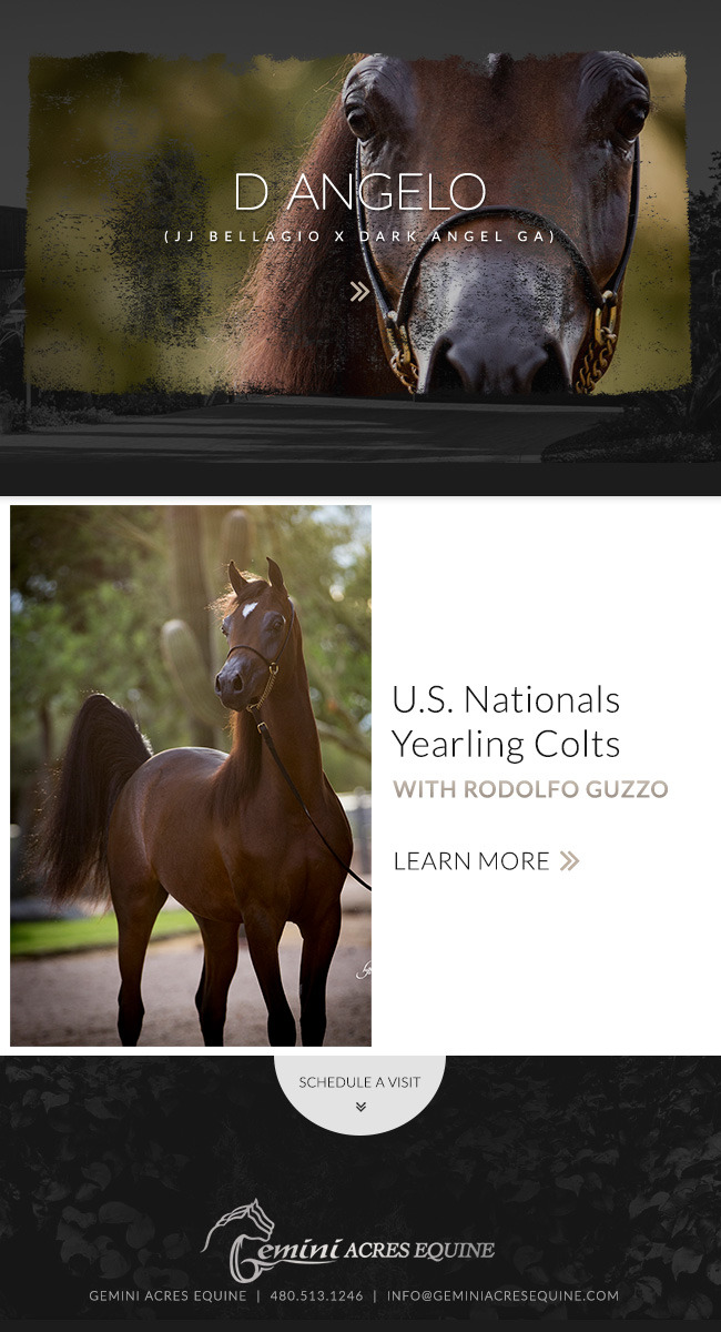 D Angelo Arabian Horses Stallions Farms Arabians Horses For Sale Arabian Horse Network