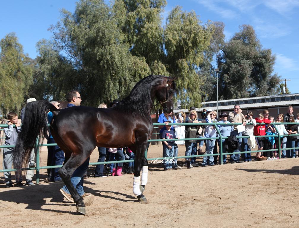 Royal Arabians/Guzzo World wide