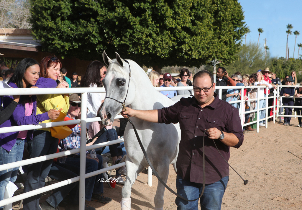 Royal Arabians, Mesa