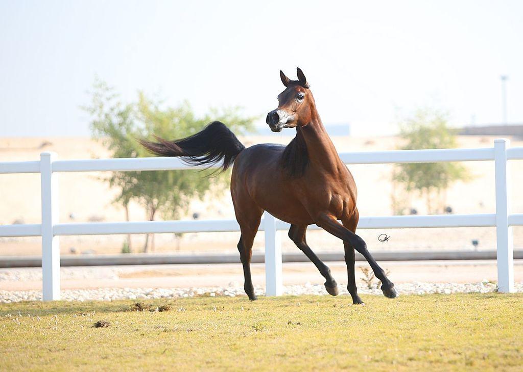 Aswar Al Shaqab (Kahil Al Shaqab x Hathfa Al Shaqab by Al Adeed Al Shaqab) 2013 filly