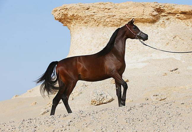 Ghalib Al Shaqab (Kahil Al Shaqab x Gazala Al Shaqab by Gazal Al Shaqab) 2011 stallion