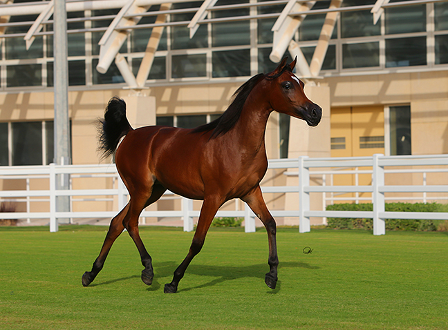 Zenat Al Shaqab (Kahil Al Shaqab x ZT Maghan by AB Magnum) 2011 mare