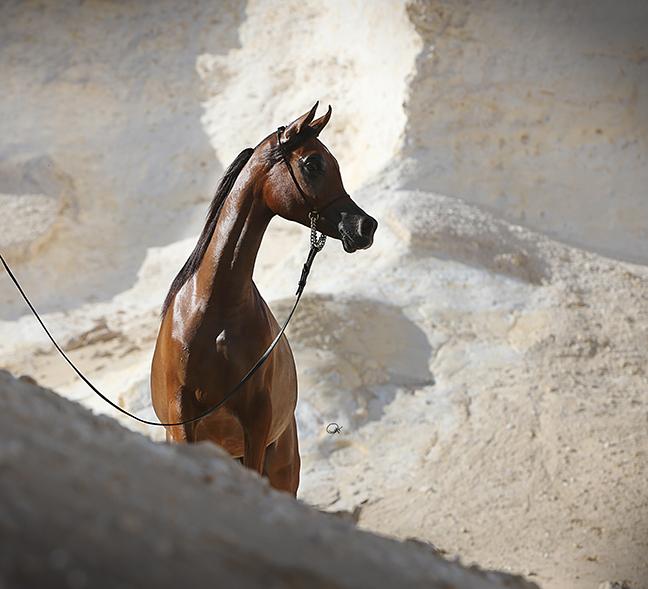 Al Anood Al Shaqab (Kahil Al Shaqab x Miss El Power JQ by Power World JQ) 2012 filly