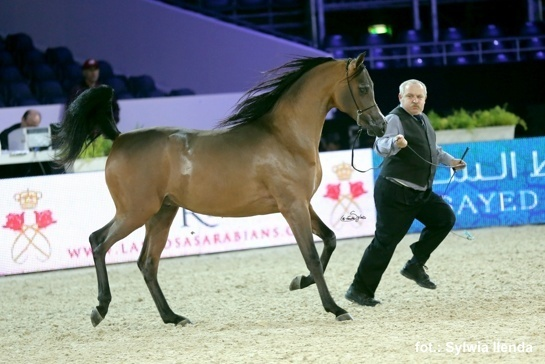 2015 World Gold Champion Junior Colt Morion (Kahil Al Shaqab x Mesalina) 2013 Colt. Bred & owned by Michalow