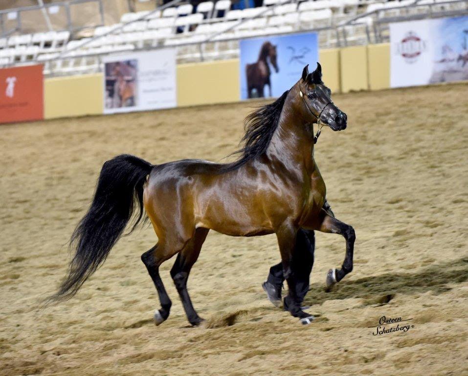 Scottsdale Arabian Horse Show News for Saturday, February 13, 2016