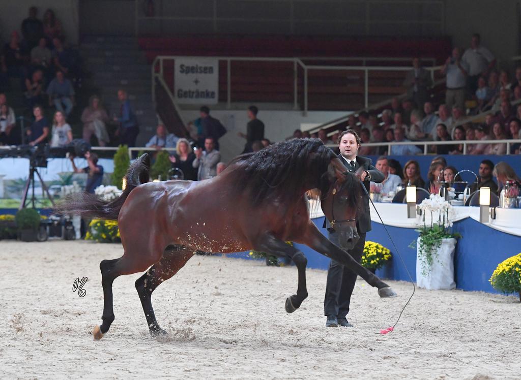 Senior Stallion Gold Champion: EKS Alihandro (Marwan Al Shaqab X OFW Psylhouette)