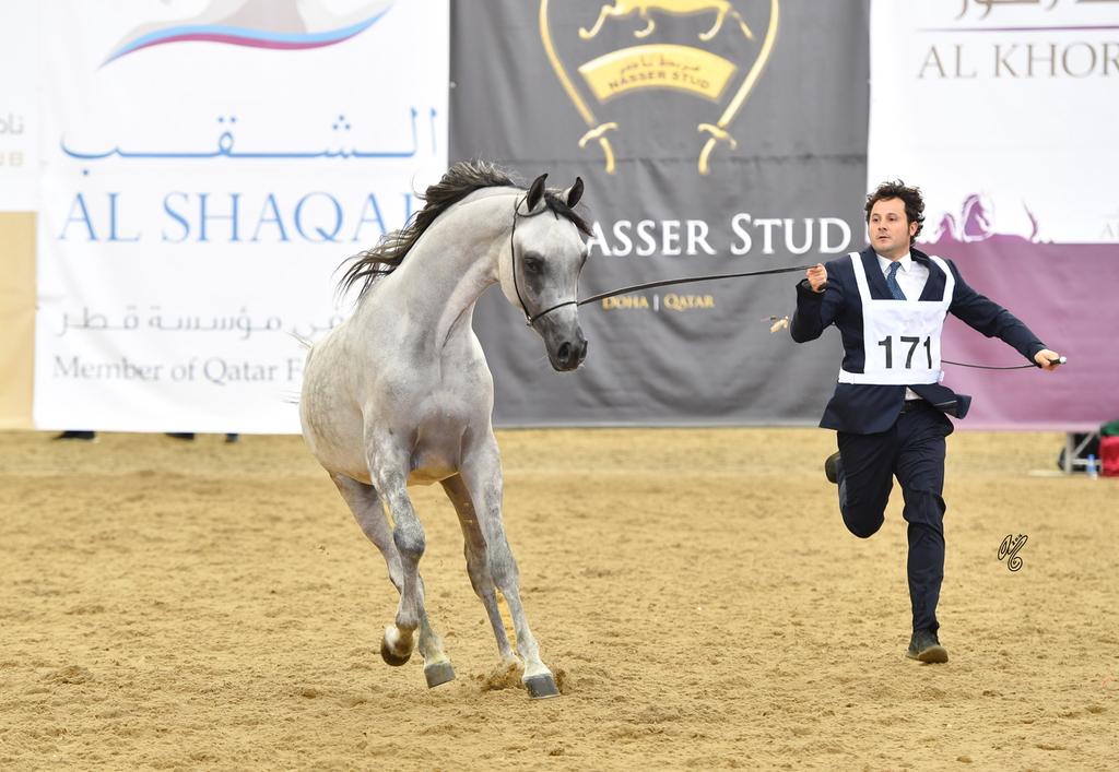 Junior Colt Gold Champion: Medan Al Shaqab (Farhoud Al Shaqab X Abha Myra)