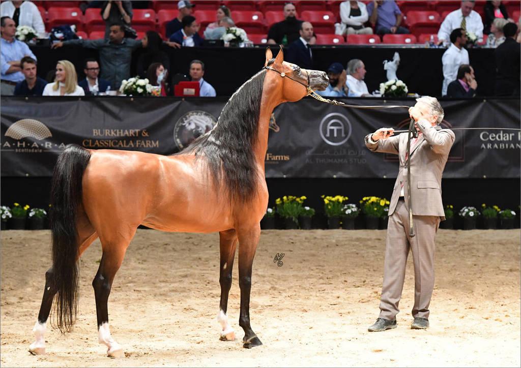 Michael Byatt with Senior Stallion Gold  Champion Fadi Al Shaqab (Besson Carol X Abha Myra)