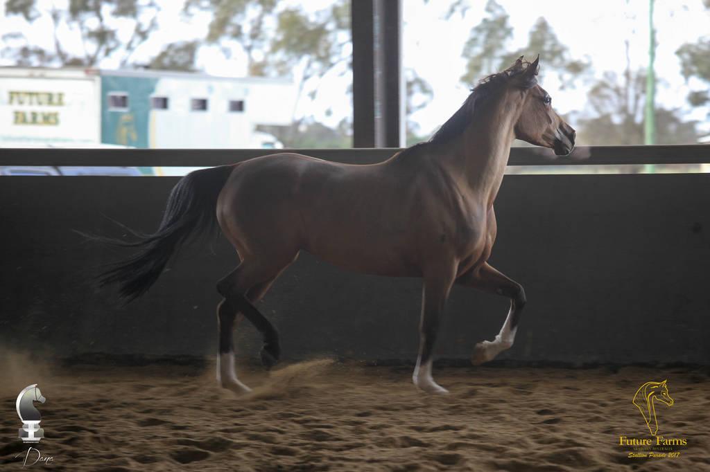 Future Farm S Open Day Australia Arabian Horses Stallions Farms Arabians Horses For Sale Arabian Horse Network