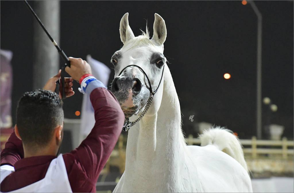 Senior Stallions 8-10 Years: Marzouk Al Wafy