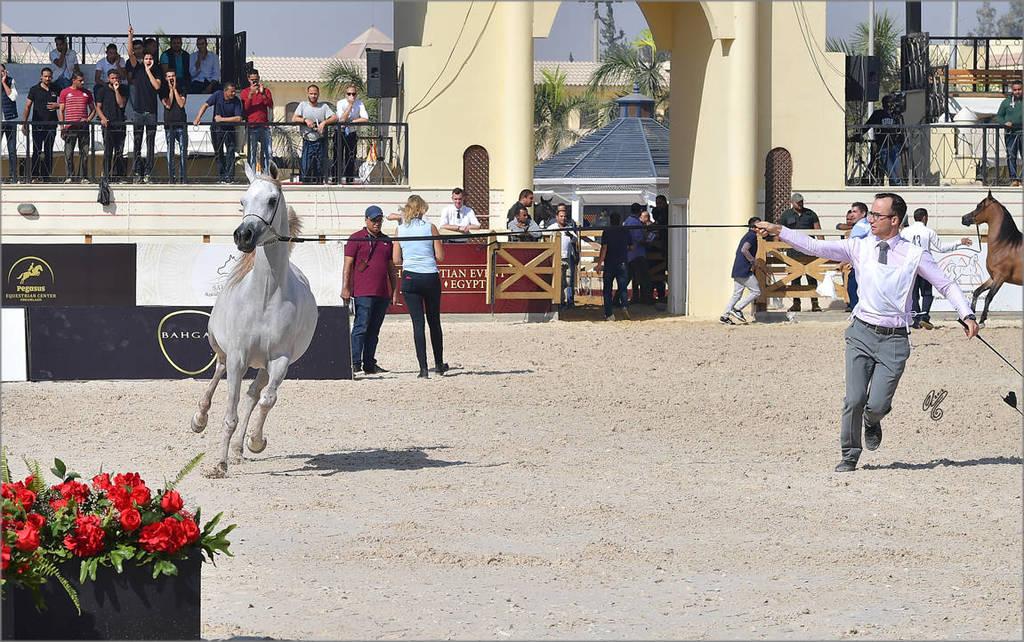 Junior Fillly Gold Champion Nouf Al Baydaa (Al Sheikh Obaid Al Moghazy X Nagham Al Baydaa)