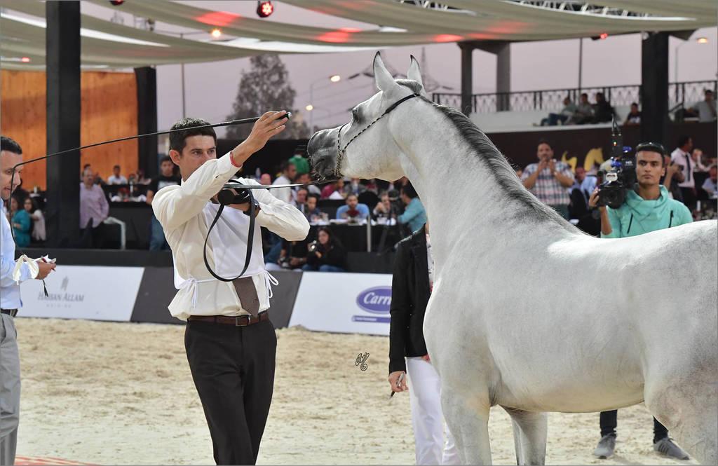 Stallion Bronze Champion Mohanad Badrawi (Safir Badrawi X Kamar Badrawi)