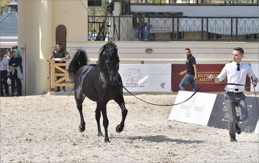 Senior Stallions 11 Years and Older: Seif El Farida