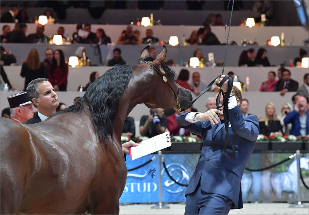 Yearling Male Gold Champion: Admiraal