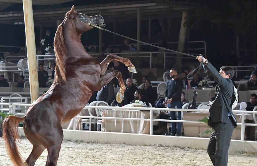 Junior Colt Silver Champion: Safir Teebah