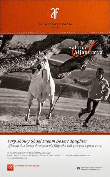 Flamboyant white Shael Dream Desert daughter from Aljassimya Farm