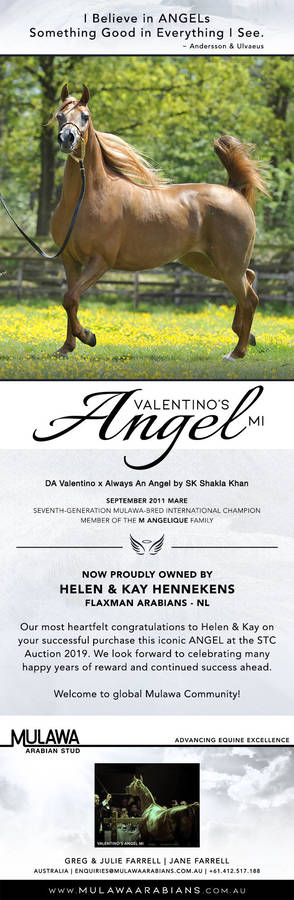 A Heavenly Arrival at Flaxman Arabians | VALENTINO'S ANGEL MI