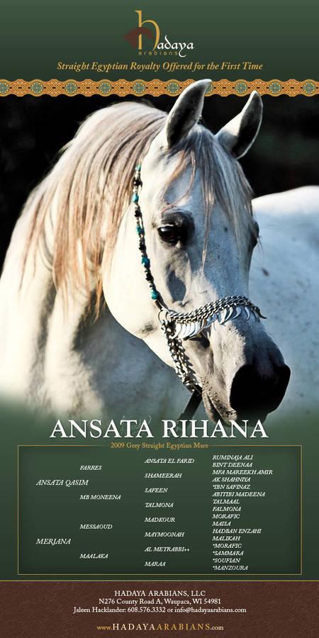 Rare Straight Egyptian Opportunity - Ansata Rihana