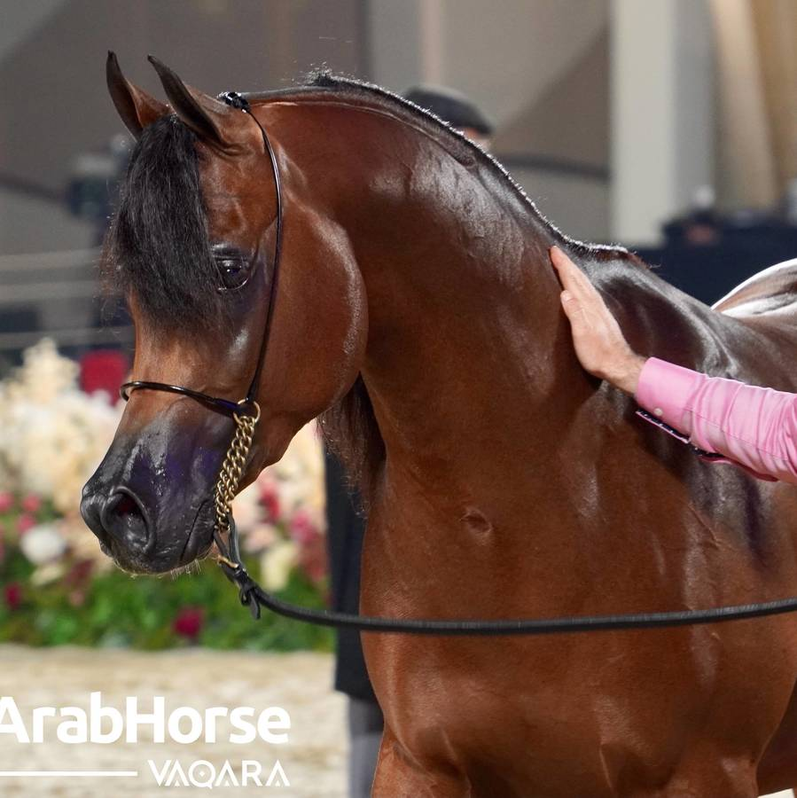 Excitement Continues Unabated During the Katara International Arabian Horse Festival