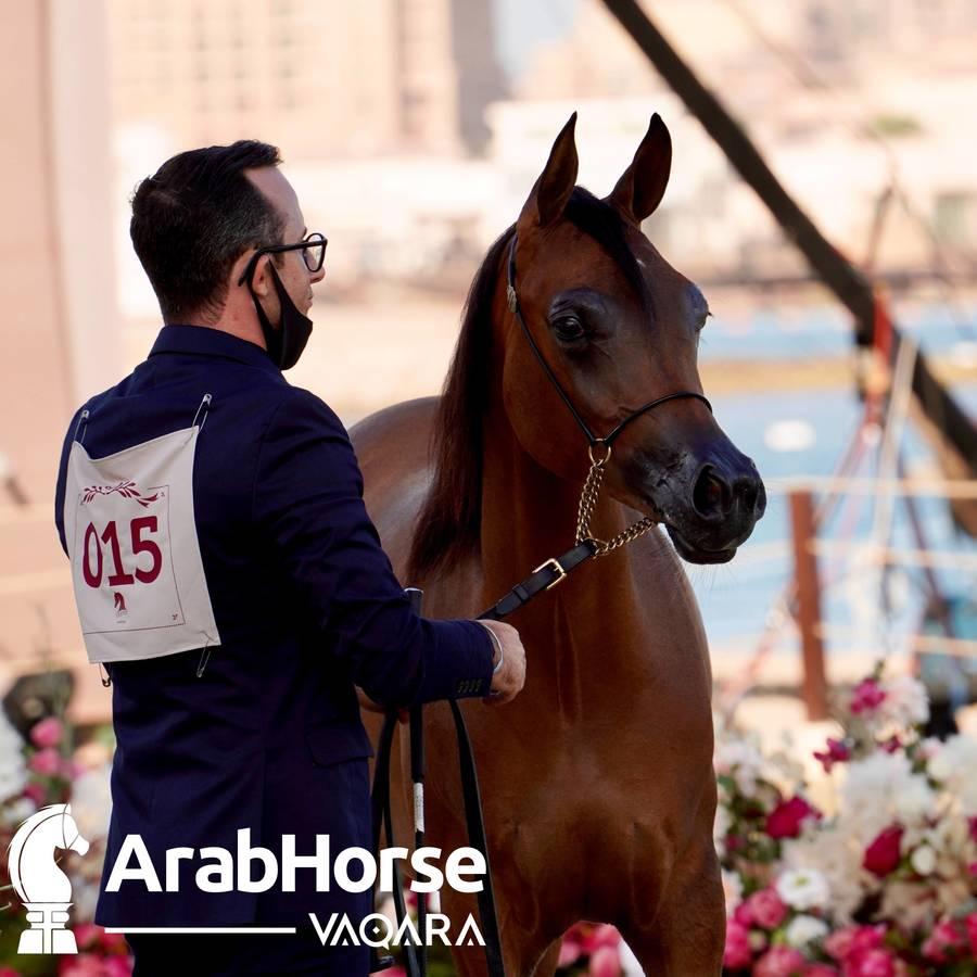 Finest Arabians compete in Championship round of the Prestigious Title Show at Katara