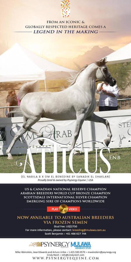 International Arabian Royalty Now Available Down Under   ATTICUS ENB