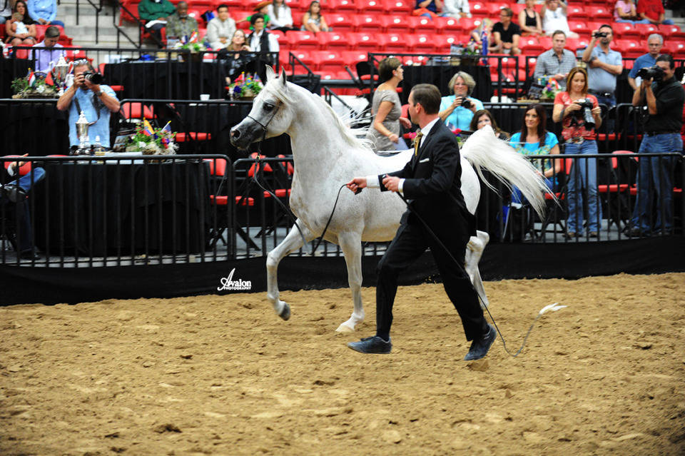 2012 Ahba Stallion Showcase The Arabian Breeders World