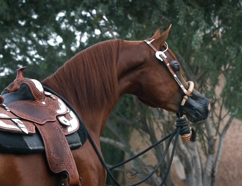 Royal T Phorte The Arabian Breeders World Cup Arabian