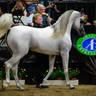 Hariry al Shaqab - Gold Supreme Champion Sr Stallion