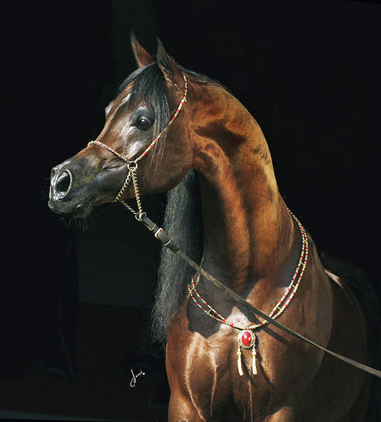 Sf Veraz The Arabian Breeders World Cup Arabian Horse