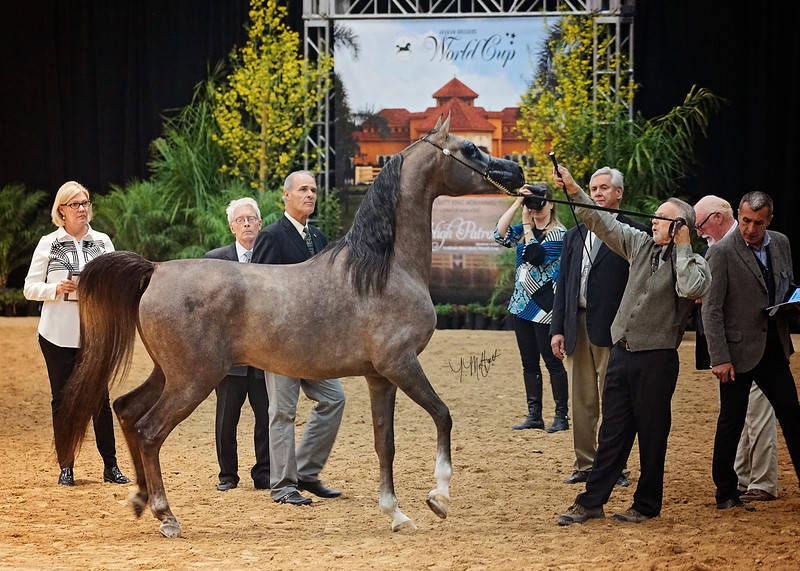 2015 Abwc Gallery The Arabian Breeders World Cup