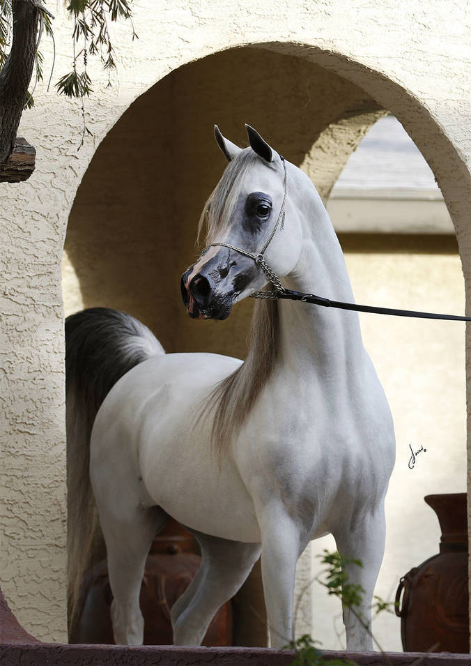 Baha Aa The Arabian Breeders World Cup Arabian Horse