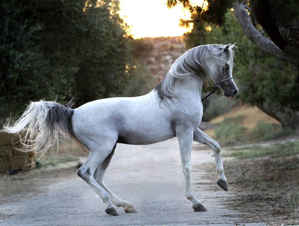 Baha Aa The Arabian Breeders World Cup Arabian Horse