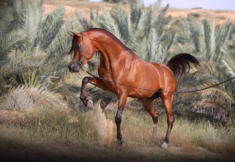 Aj Portofino The Arabian Breeders World Cup Arabian