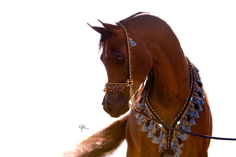 Bey Ambition The Arabian Breeders World Cup Arabian