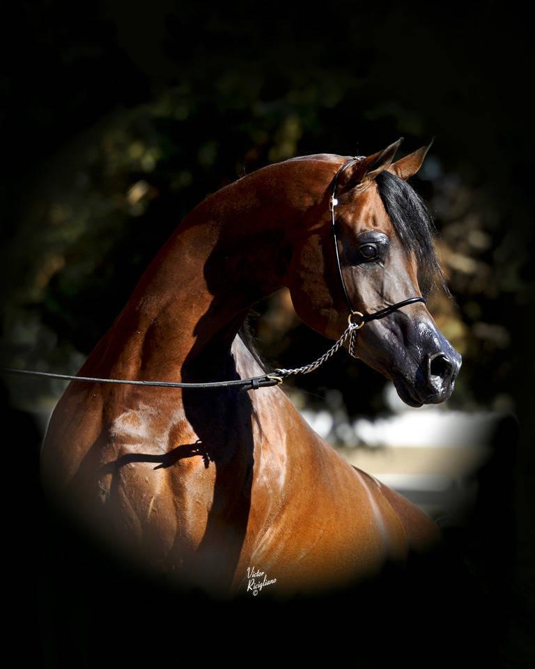 Da Vinci Fm The Arabian Breeders World Cup Arabian