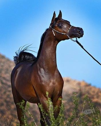 Grand Commandd The Arabian Breeders World Cup Arabian